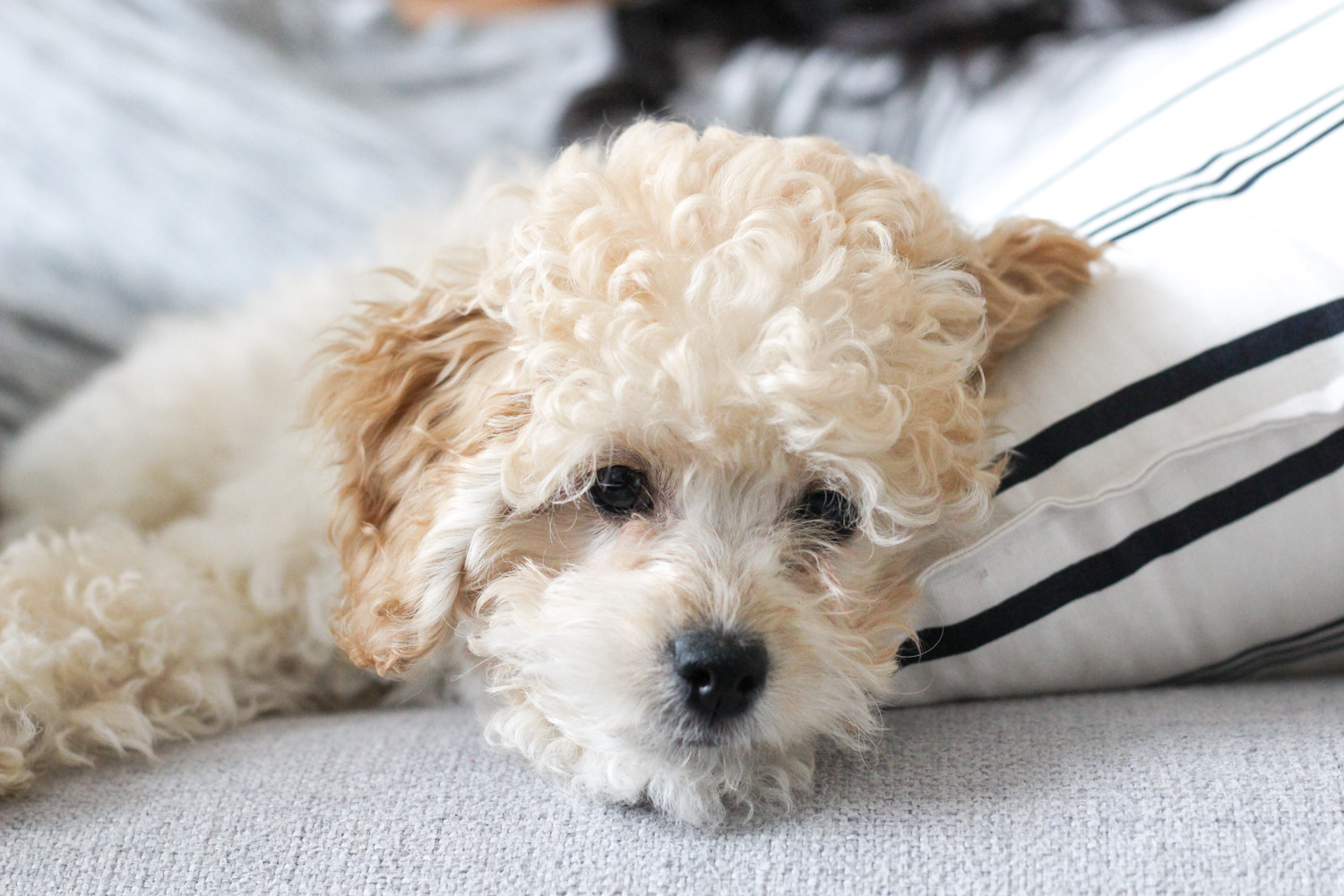 Toy cockapoo - Millies Adoption Story, featured by popular DC lifestyle blogger, Monica Dutia